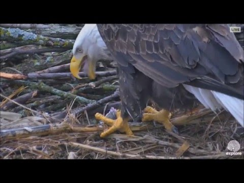 DECORAH NORTH NEST  3/15/2016  4:44 PM  CDT    DAD BROUGHT A BIG FISH FOR MOM