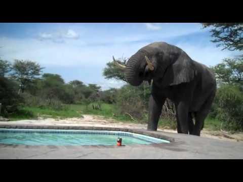 Fil havuzdan su içmek isteyince