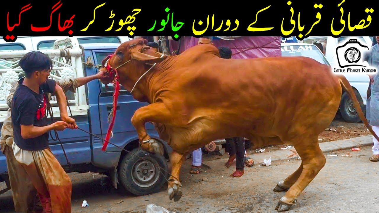 Anari Qasai vs Khatarnak Bull | Part 1 | HEAVY Bull Qurbani | Bakra Eid 2021 | Eid ul Adha 2021