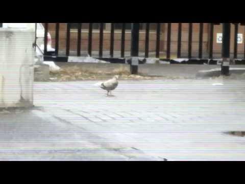 Quality Pigeon post