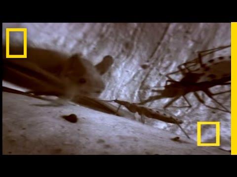 Assassin Bug Vs. Bat | National Geographic