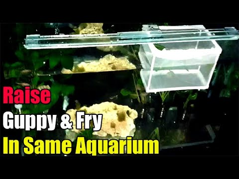How To: Keep Guppy From Eating Baby Fry In A Single Tank