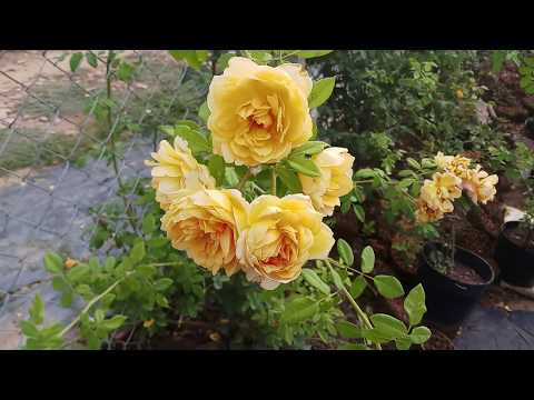 Hoa hồng leo Golden Celebration ( David Austin)