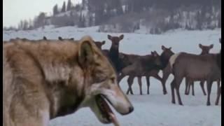 Волки BBC
