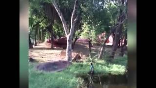 Thanh niên say rượu đánh nhau với sư tử và cái kết ...