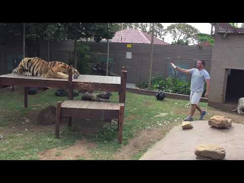 Tiger attack , why You should not turn Your back!