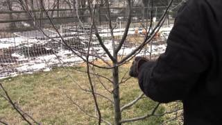 How to Dormant Prune Apple & Pear Trees Video