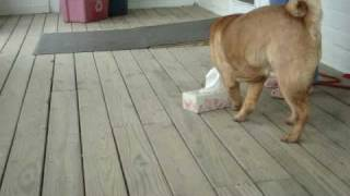 Willy's Tissue Trick!.....sharpei