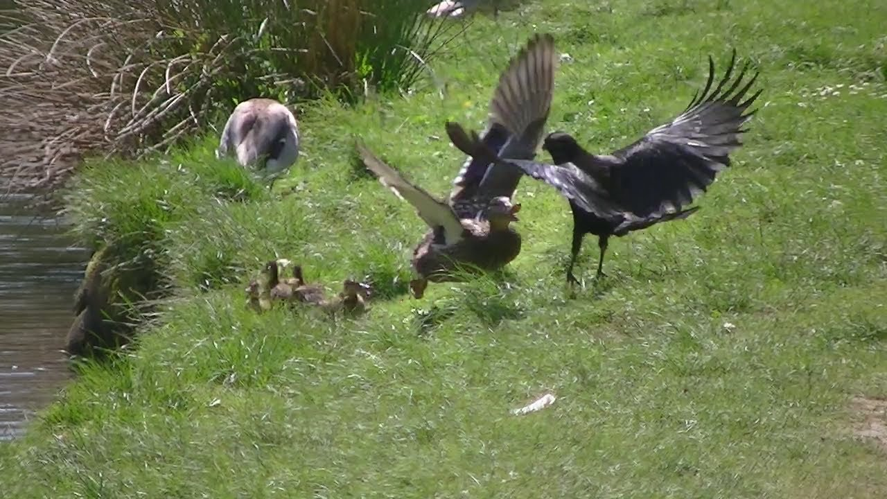 mother protects duckling from hungry crow youtube