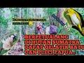 Berpetualang Di Hutan Sumatra Dapat Gelatik Batu Dan Pleci Papua Hitam Auto Pleci Langka  Mp3 - Mp4 Download
