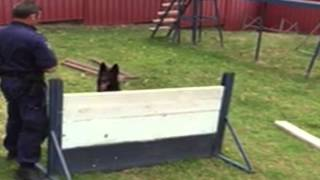Police Dog In Training Ulrich ('u') Practices The Steeple Chase, Canine Style