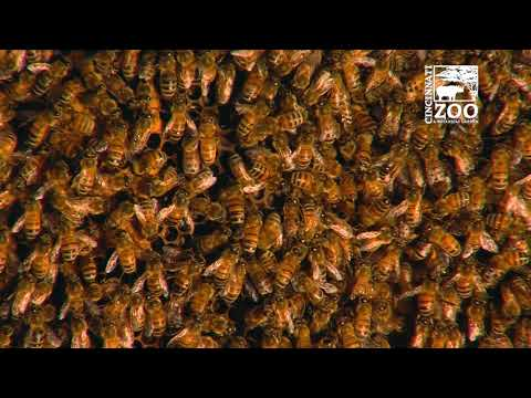 Honey Bee Hive Removed from Local Home and Moved to Cincinnati Zoo