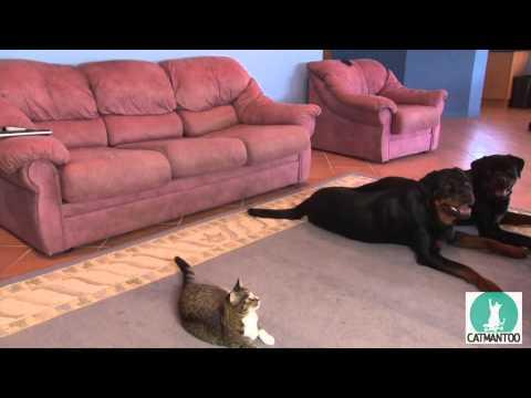 Кот повторяет за собаками