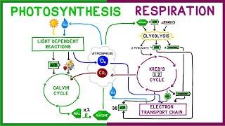 Photosynthesis Vs Cellular Respiration Comparison Youtube