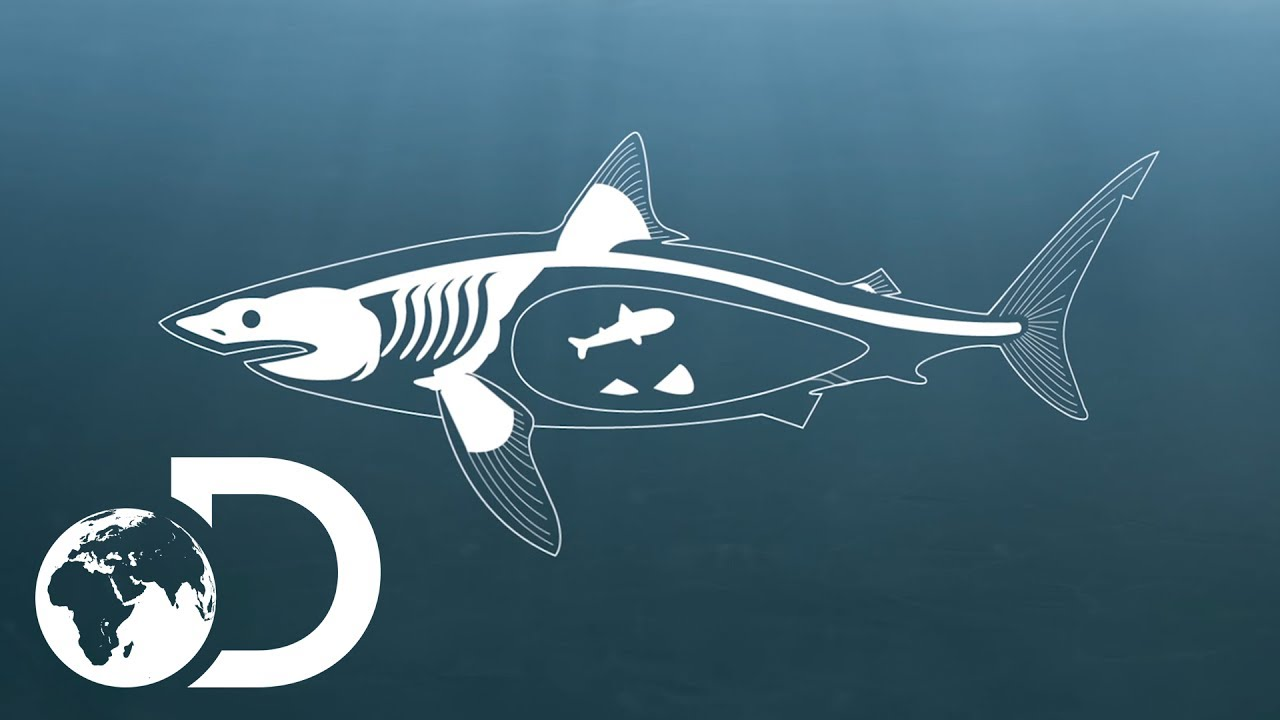 Great White Shark Drawing How Do Sharks Mate? | ...