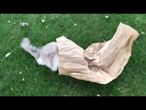 8-Year Old Ragdoll Cats Play with Packing Paper 📦 🐱 - Floppycats