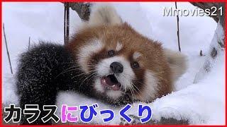 カラスにびっくり!でも果敢に追いかけるレッサーパンダ Red Panda was surprised