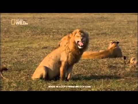 Laughing tiger1