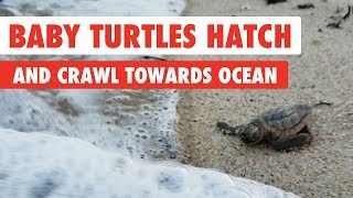 Baby Turtles Hatch and Crawl Towards the Ocean