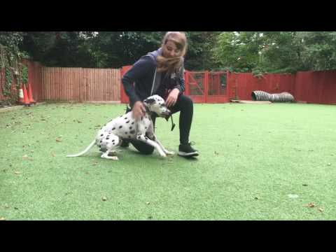 All you need to know about Dalmatians