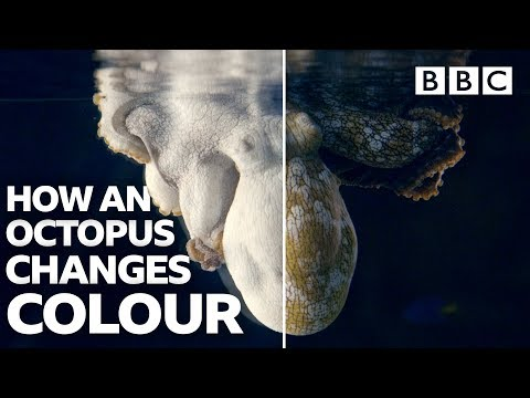 Amazing Octopus changing colour transformations - BBC