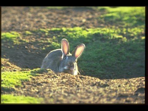 Rabbit Haemorrhagic Disease (RHD) Boost Project