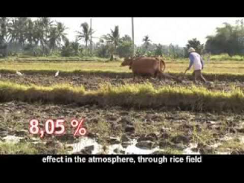 Petani Berjaya di Aceh Jaya - System for Rice Intensification (SRI) - English Subtitle