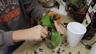 Rescue a Phalaenopsis Orchid - Root Stress