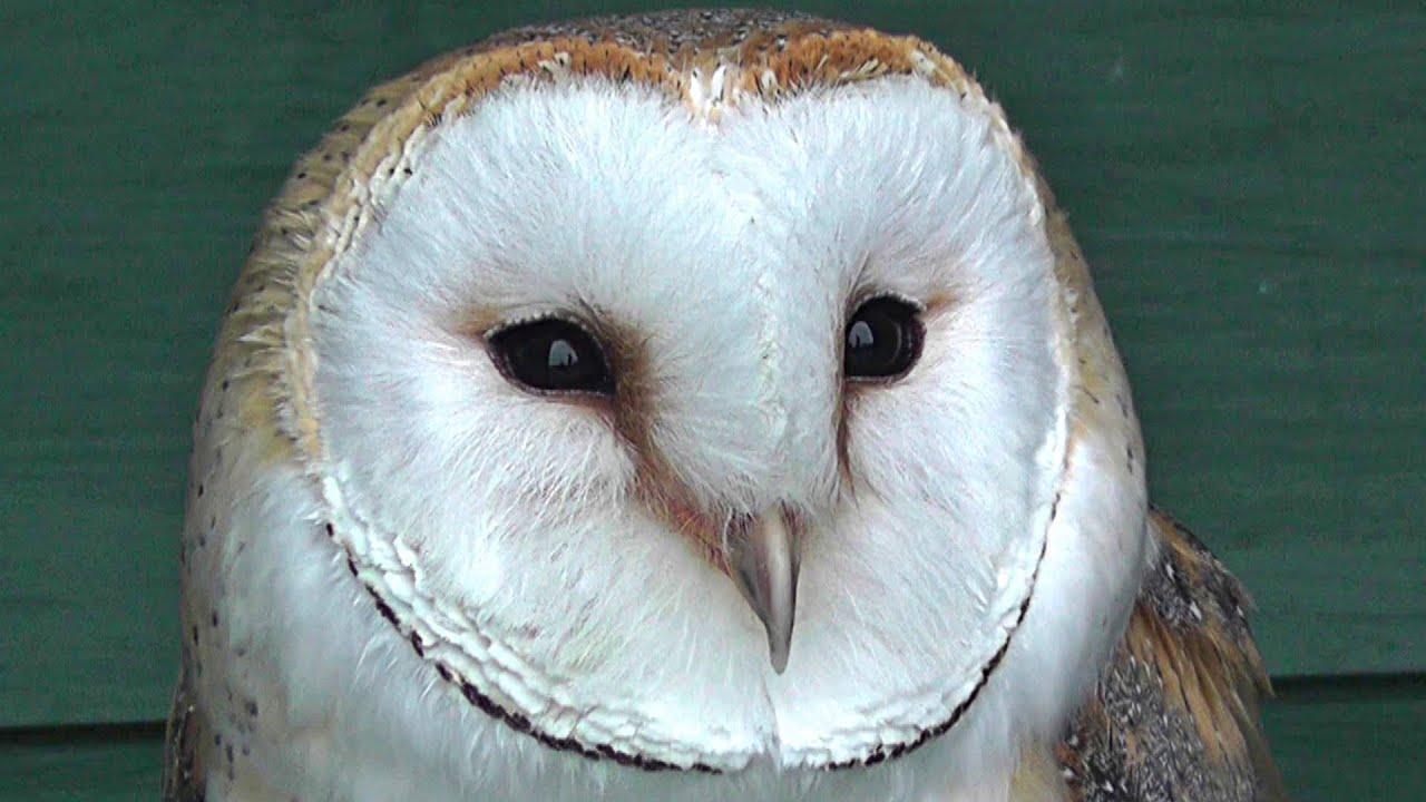 Barn Owl At Screech Owl Sanctuary Youtube