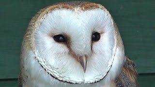 What does a Barn Owl sound like?. Ноутбуки