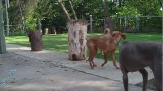 Vizsla, Weimaraner, Mixed Breed, Playing