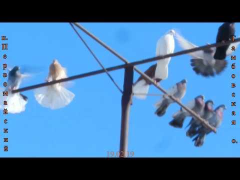 Николаевские голуби. Первомайский, Тамбовская область 2019
