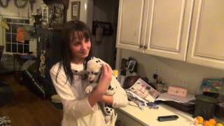 Birthday Surprise- Dalmatian Puppy