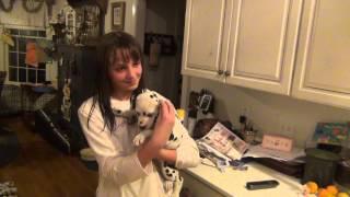 Birthday Surprise- Dalmatian Puppy