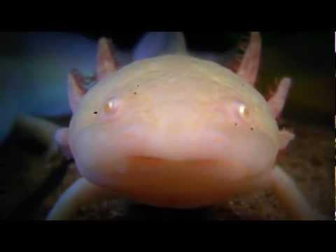 Leucistic and Golden Albino Axolotls