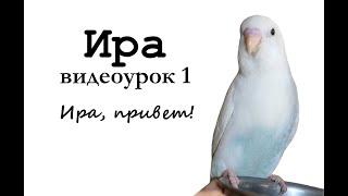 """🎤 Учим попугая говорить, видеоурок: """"Ира, привет!"""""""