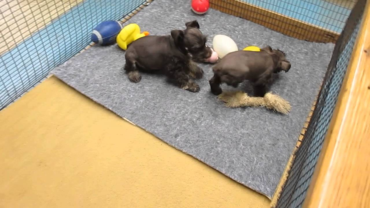 Chocolate Miniature Schnauzer Puppies For Sale In Pa Youtube