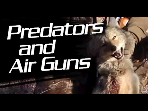 Predator Air Gun Hunting with an Air Rifle : Airgunner TV Round Table