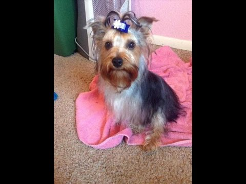 Bathing And Grooming My Yorkie Part 2