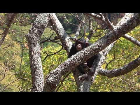 Issa chimpanzees (Tanzania 183, credit T Deschner, MPI-EVA)