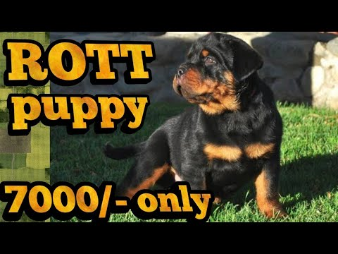 Rottweiler Puppy For Sale Youtube