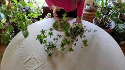 How to Grow Ivy Indoors Successfully
