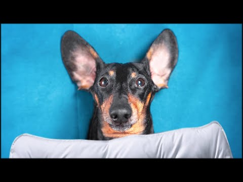 A new couch is a best couch! Cute & funny dachshund dog video!