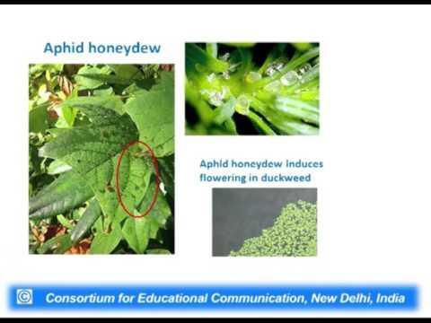 Plant Hormone : Salicylic Acid