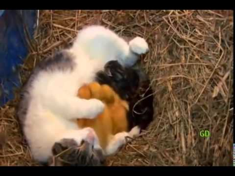 Cat & baby ducks