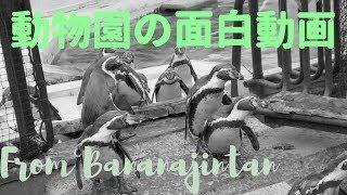 かわいいペンギンの鳴き声にびっくりしたんです★面白動物動画【羽村市動物公園】
