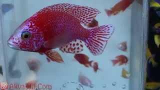 Аулонокара Орхидея Ред (Aulonocara spec. orchidea red). Аквариумные рыбки. Аквариумистика.