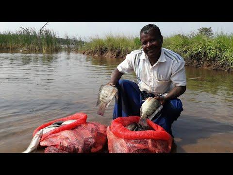 Sri Lanka Fishing Video | Tilapia 25 Kg | Fishing In Village | Freshwater Fish | Live 🇱🇰