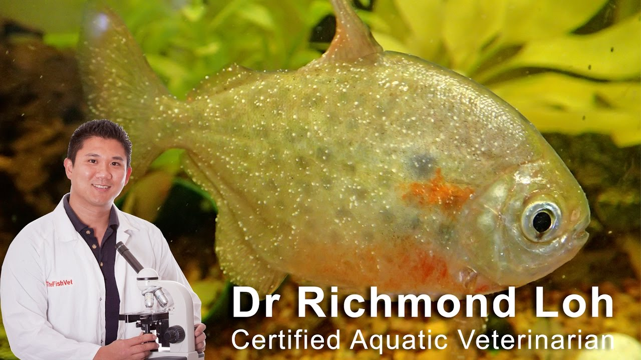 How to identify and cure ich white spot disease in for How to treat ich in fish