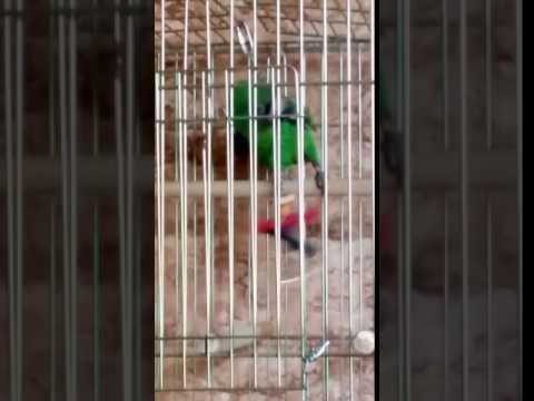 Злая птичка (конголезский попугай)